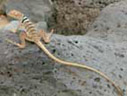 collared lizard at Rodman petroglyph site